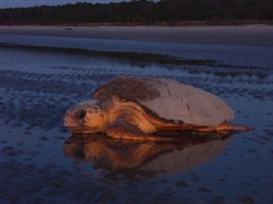 GPA partnership with Caretta Research Project  helps loggerhead sea turtles make a comeback
